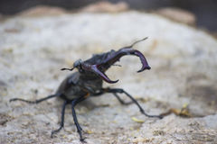 Stag beetle. ( Lucanus cervus) - insect photography Royalty Free Stock Images