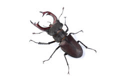Stag beetle Lucanus cervus isolated on white Royalty Free Stock Photo