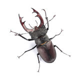 Stag beetle Lucanus cervus isolated on white Stock Photography