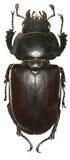 The stag beetle Lucanus cervus (Linnaeus, 1758) Stock Image