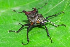 Stag beetle Lucanus cervus. Macro Stock Images