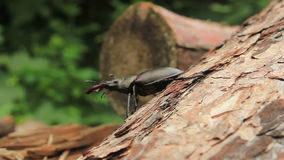 Stag Beetle stock footage