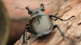 Stag Beetle stock video footage