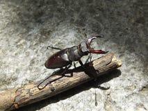 Stag beetle (Lucanus cervus) Royalty Free Stock Photos