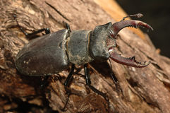 Stag beetle (Lucanus cervus). On an old trunk Stock Image