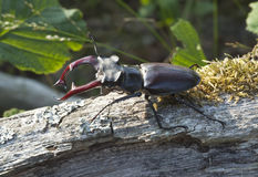 Stag beetle (Lucanus cervus) sitting on tree. Stock Photos