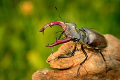 Stag Beetle & x28;Lucanus cervus& x29;. Stag Beetle & x28;Lucanus cervus& x29; on the tree branch. Big horned beetle perched on the branch Stock Photography