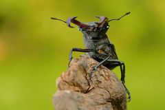 Stag Beetle (Lucanus cervus). On the tree branch. Big horned beetle perched on the branch Stock Photos