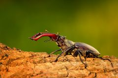 Stag Beetle & x28;Lucanus cervus& x29;. On the tree trunk. Big horned beetle perched on the bark Royalty Free Stock Photos