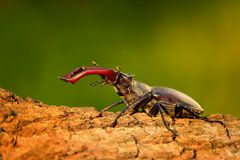 Stag Beetle (Lucanus cervus). On the tree trunk. Big horned beetle perched on the bark Stock Images