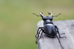 Stag beetle Lucanus cervus on wood. Red List rare insect macro view, shallow depth field. Selective focus. Photo Stock Photo