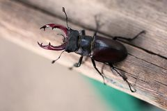 Stag beetle Lucanus cervus on wooden background. Red List rare insect macro view, shallow depth field. Selective focus. Stag beetle Lucanus cervus on wood. Red Royalty Free Stock Photo
