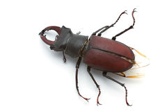 Stag Beetle (male). Male of stag beetle isolated on white background Stock Photography