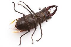 Stag Beetle (male) Stock Photo