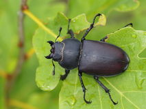 Stag beetle male, Dorcus parallelipipedus Stock Photo