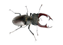 Stag beetle. Male stag beetle isolated on white background Royalty Free Stock Photo