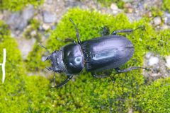 Stag beetle on the moss mat Stock Images