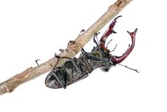 Stag beetle in an oak forest. Stag beetle on dry branch of oak isolated on white Stock Photos