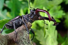 Stag beetle in an oak forest. Closeup Royalty Free Stock Photos