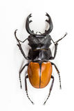 Stag Beetle (Odontolabis mouhoti ) Male Top View Stock Photo