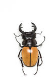 Stag Beetle (Odontolabis mouhoti ) Male Royalty Free Stock Photography