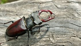 Stag beetle on the old tree. royalty free stock photography