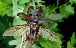 Stag beetle with open wings in an oak forest. close up. stock photo