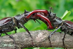 Stag beetle with open wings in an oak forest. Close up Royalty Free Stock Photo