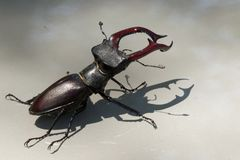 A stag beetle is a rare inhabitant of European oak forests. 
