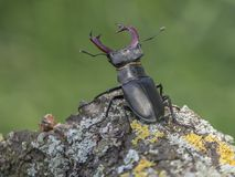 Stag beetle ready for fighting stock photos