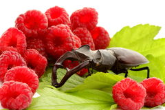 Stag beetle and  red juicy raspberries Royalty Free Stock Photo