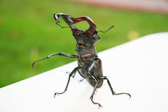 Stag beetle. Stock Photography