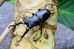 A male stag beetle portrait. A stag beetle sits on a log in it`s environment looking for food or a mate,whichever comes first Stock Photography