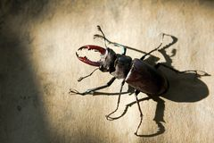 Stag beetle sitting motionlessly on a yellow woode Stock Images