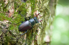 Stag beetle sitting on a tree bark. Lucanus cervus. Stag beetle sitting in a tree. Tree overgrown with moss . Close-up. Summer. Macro photography Royalty Free Stock Photo