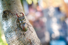 Stag beetle sitting on tree Stock Images