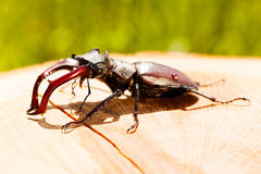 Stag beetle. On the small log Royalty Free Stock Photo