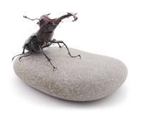 Stag-beetle in stone. Stock Photos