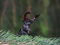 Stag beetle threaten. Male stag beetle  threaten ,grasp cling Royalty Free Stock Photos