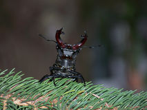 Stag beetle threaten. Male stag beetle  threaten ,grasp cling Royalty Free Stock Photo
