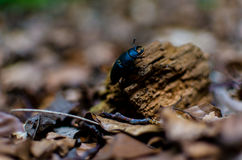 Stag beetle traveling true the forest Stock Image
