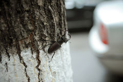 Stag Beetle on Tree Stock Images