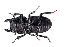 Stag beetle underside - insect macro Royalty Free Stock Photography