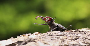 Stag-beetle. Walking on tree Royalty Free Stock Photography