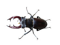 Stag beetle on white stock photos