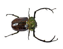 A stag-beetle Royalty Free Stock Photos