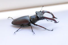Stag-beetle. Stag beetle on a white background ready to attack Royalty Free Stock Photos