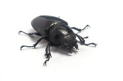 Stag beetle on white Royalty Free Stock Image