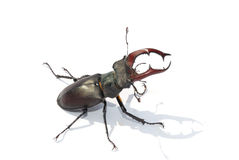Stag beetle white middle Royalty Free Stock Images