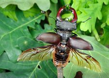 Free Stag Beetle With Open Wings In An Oak Forest. Stock Photo - 118844220